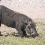 Warthog on the Chobe