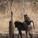 Mama and baby baboon