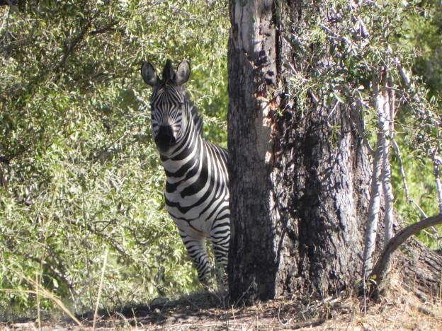 hiding zebra
